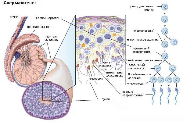 kogda-u-muzhchin-obrazuetsya-sperma